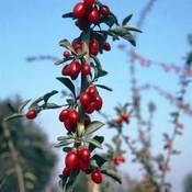 Prunus avium 'Sylvia'