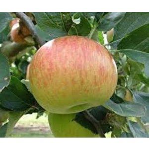 Appel Domestica 'Bramley's Seedling'