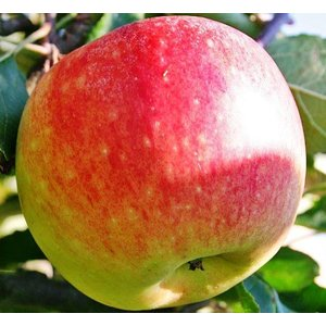 Appel Domestica 'James Grieve'
