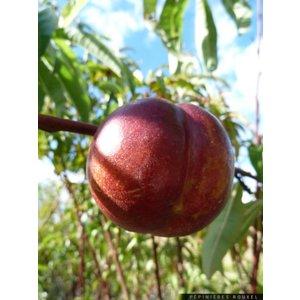 Nectarine Nucipersica ´Mme. Blanchet´