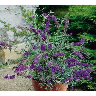 Buddleja Buzz Violet
