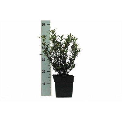 Ilex Aquifolium Myrtifolia