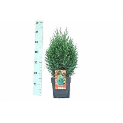 Juniperus chin. Stricta.