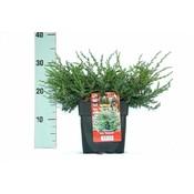 Juniperus com. Repanda.
