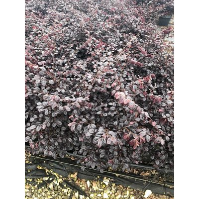 Loropetalum Chinense Black Pearl®