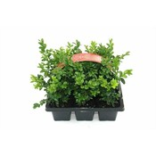 Buxus Multipack
