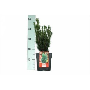 Taxus media Hillii.