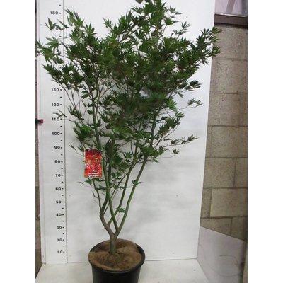 Acer palm. Masu-kagami