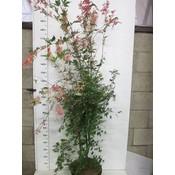 Acer palmatum Oridono Nishiki