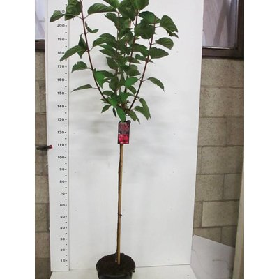 Hydrangea Wims Red op stam