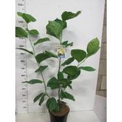 Magnolia brooklynensis 'Elizabeth' (Beverboom)