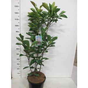 Magnolia soulangeana 'Alba Superba' (Beverboom)