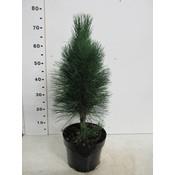 Pinus nigra 'Green Tower'