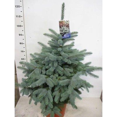 Picea Super Blue Seedling