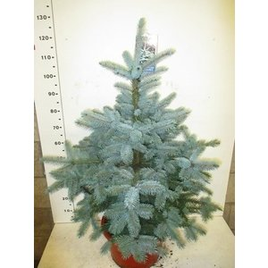 Picea Super Blue Seedling