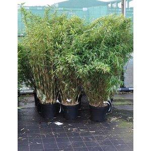 Bamboe Fargesia Novecento