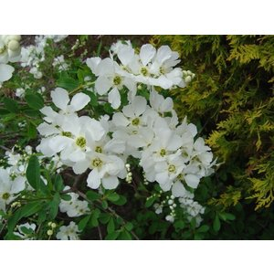 Exochorda 'The Bride' (Parelstruik)