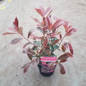 Photinia fraseri 'Louise'