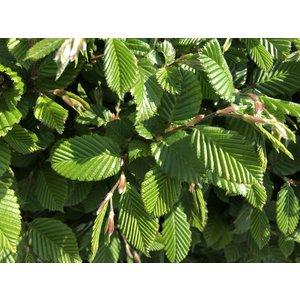 Haagbeuk Groen (bladverliezend) in pot