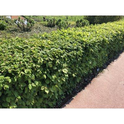 Carpinus Betulus (bladverliezend) in pot