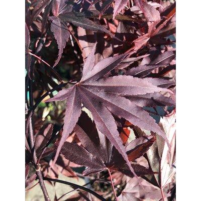 Acer Palmatum Moonfire
