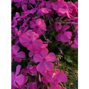 Phlox (S) 'MacDaniel's Cushion'
