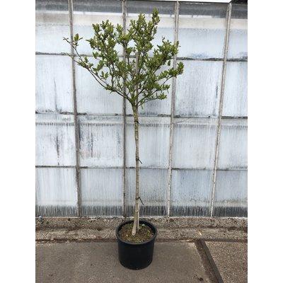 Magnolia Stellata op stam OUTLET