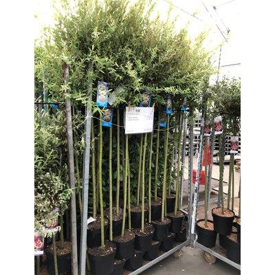 Salix 'Hakuro Nishihiki'