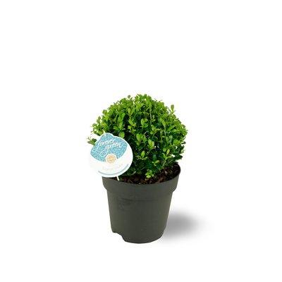 Ilex Crenata  Luxus Hedge