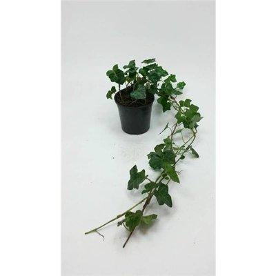 Hedera Hibernica p9 20-30cm