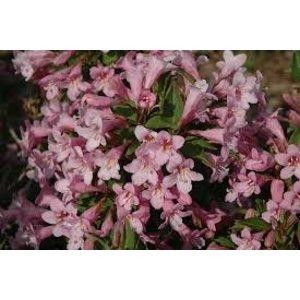 Weigela florida Pink Poppet 80cm stam