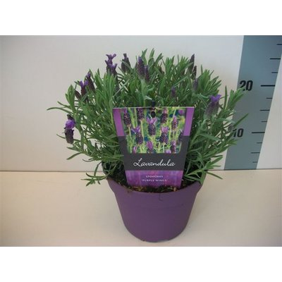 Lavandula st. Purple Wings