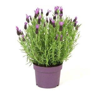Lavendel Stoechas Anouk