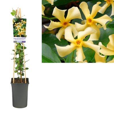 Trachelospermum jasm. star of toscane
