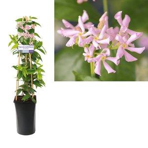 Trachelospermum as. pink air light