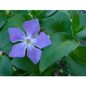 Vinca major (Grote Maagdenpalm)