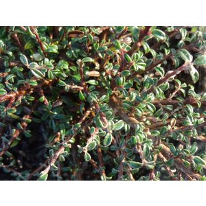 Cotoneaster integr. 'Silver Shadow'