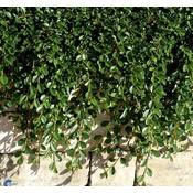 Cotoneaster radicans 'Rami'
