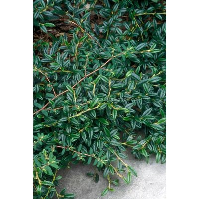 Cotoneaster sal. 'Green Carpet'