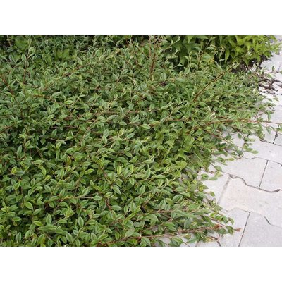 Cotoneaster sal. 'Herbstfeuer'