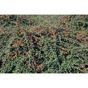 Cotoneaster suec. 'Little Beauty'