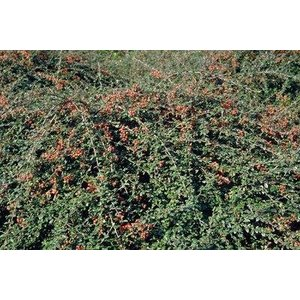Cotoneaster suec. 'Little Beauty'