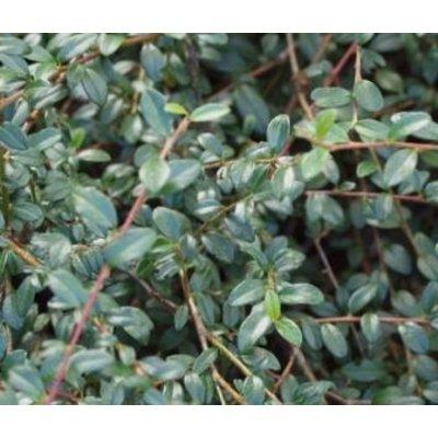 Cotoneaster suec. 'Skogholm'