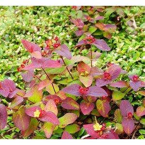 Hypericum andr. 'Albury Purple'