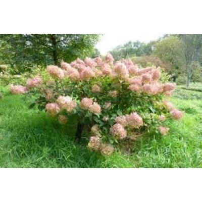 Hydrangea paniculata Phantom op stam