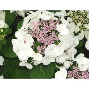 Hydrangea macr. 'White Wave'