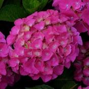 Hydrangea macr. 'Sybilla'