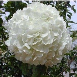 Hydrangea macr. 'Pax'