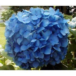 Hydrangea macr. 'Nikko Blue'