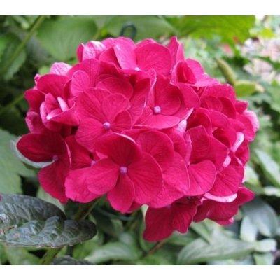 Hydrangea macr. 'Merv. Sanguine'